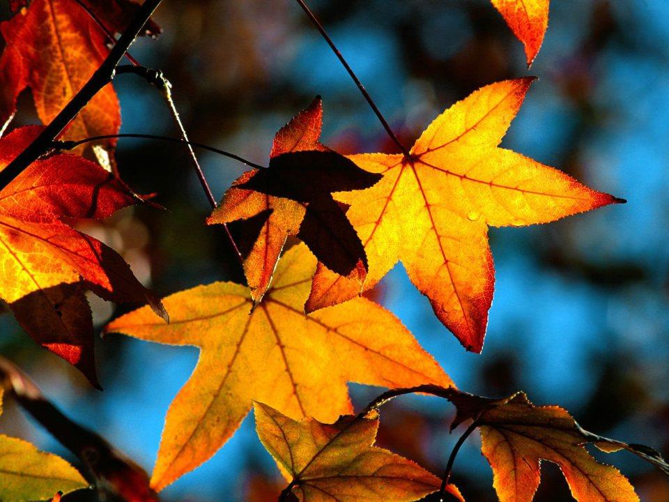 autumn-leaves-light-wallpaper[1]